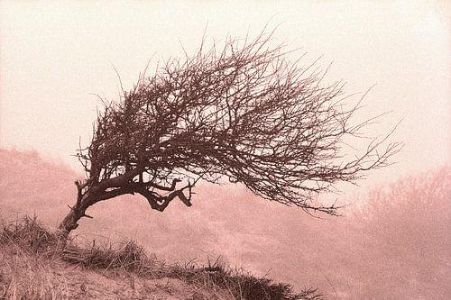 Divi-divi boom in de Katwijkse duinen.