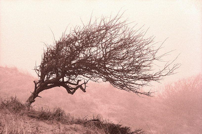 Divi-divi boom in de Katwijkse duinen. van Rens Kromhout
