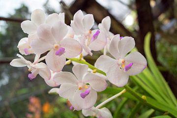 weiße orchidee in thailand von Babetts Bildergalerie