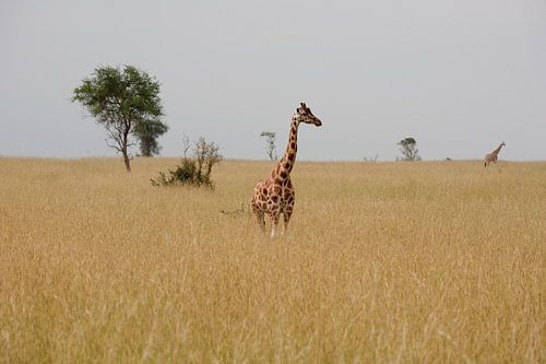 Giraffe in de savanne