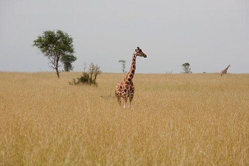 Giraffe in de savanne van