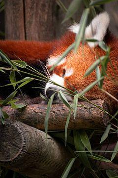 Schlafende Schönheit von Daan Uijterwaal