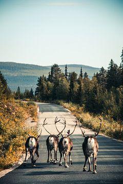 Rendieren op de weg in Zweden van Expeditie Aardbol