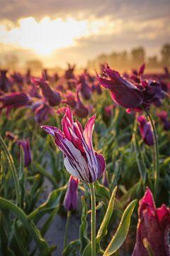 Tulpenveld met prachtige lucht tijdens zonsopkomst van Peter de Jong