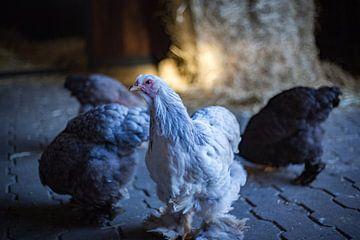 kippen van Marloes Hoekema