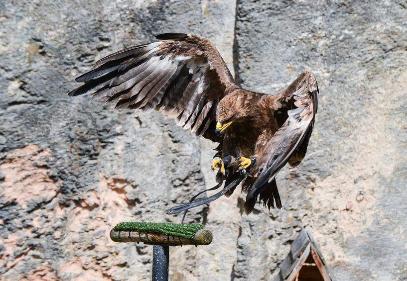 Echte roofvogel / hunting bird / oiseau de chasse von melissa demeunier