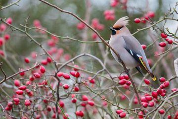 Pestvogel van Mathijs De Koning