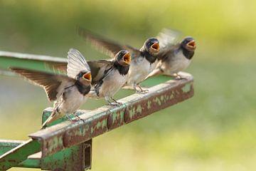 Barn Swallow sur