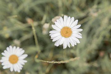 Gänseblümchen von oben auf dem Feld von Wendy Boon