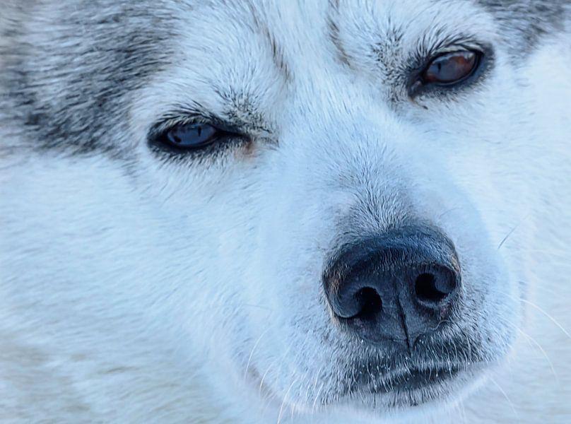Portret van een husky, Finland van Rietje Bulthuis