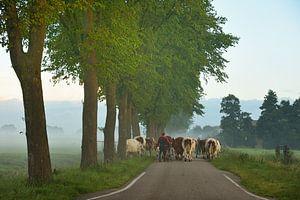 Boer brengt koeien naar het land