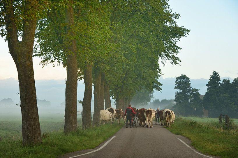 Boer brengt koeien naar het land van John Leeninga