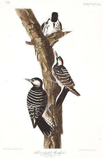 Kokardespecht van Birds of America