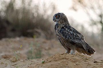 Eagle Owl  * Bubo bubo *,  wildlife van