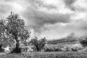 Olijfbomen in Abruzzo