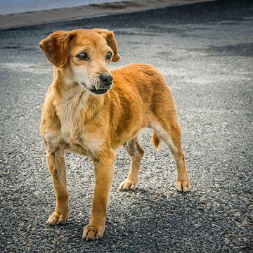 Straßenhund von Freddy Hoevers