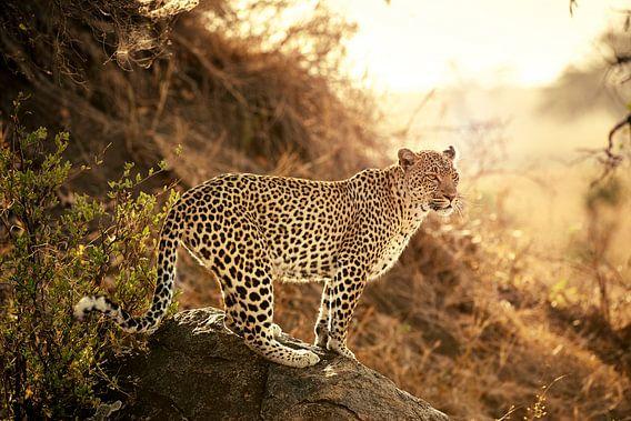 weiblicher Leopard bei Sonnenuntergang