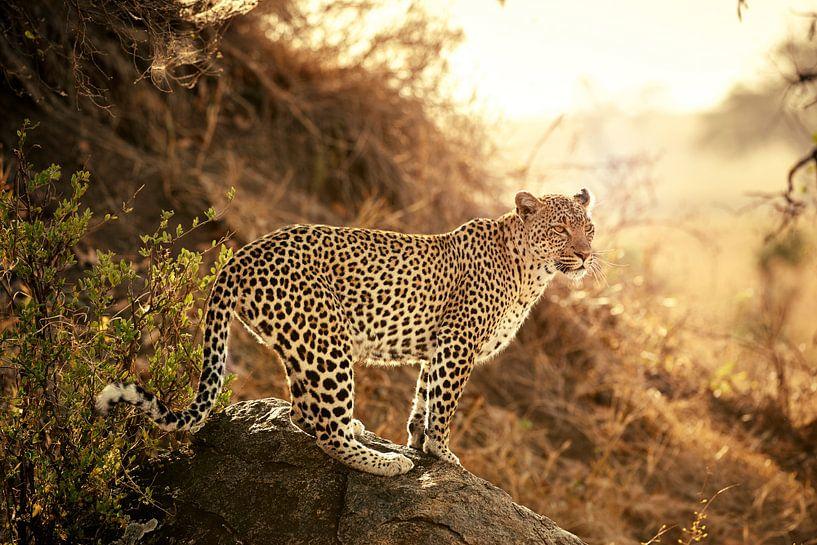 weiblicher Leopard bei Sonnenuntergang von Jürgen Ritterbach