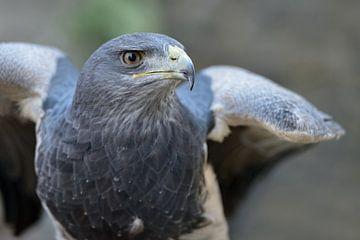 Aguja ( Geranoaetus melanoleucus ), Greifvogel der Anden. von wunderbare Erde