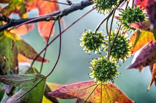 De kleuren van de amberboom van