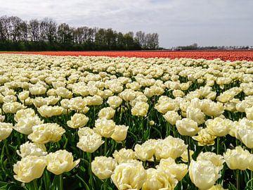 Witte en Rode tulpen von Yvon van der Wijk