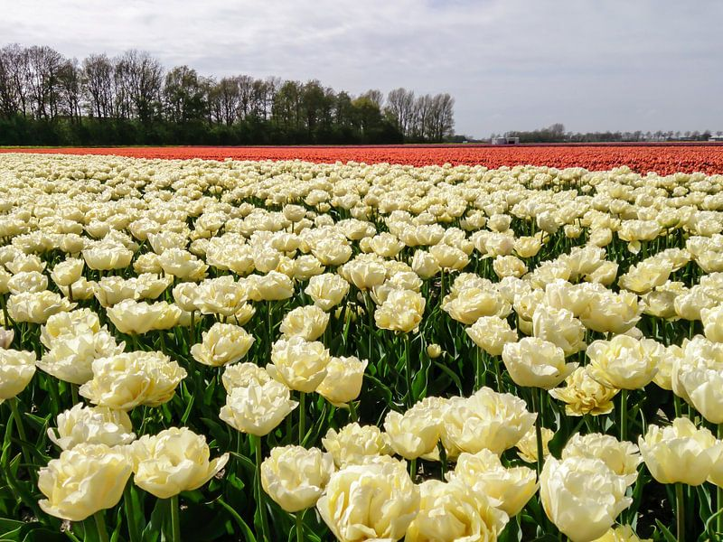 Witte en Rode tulpen