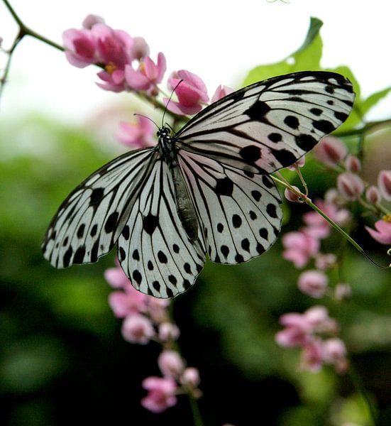 vlinder van Bart Stallaert
