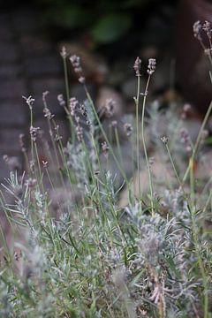 Lavendel von Eveline Fotografie