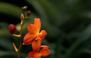 Lente Oranje Bloem in Bloei van Petro Luft