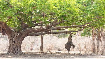 Olifant op achterpoten onder de wilde vijgenboom van Anja Brouwer Fotografie