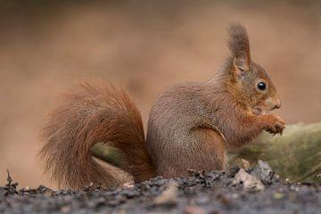 eekhoorn van Patrick Scholten