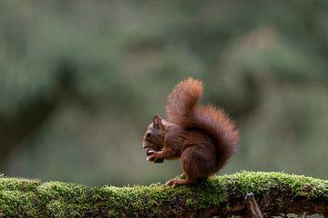 Schönes Eichhörnchen mit Walnuss von Anjella Buckens