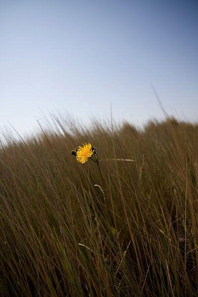 Paardenbloem in de duinen van Thijs Schouten