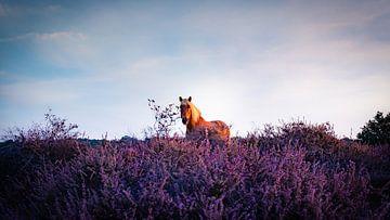 Blühende Heidekraut von Arjen Uijttenboogaart