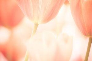Een artistieke foto van tulpen bloemen met zachte pastel kleuren