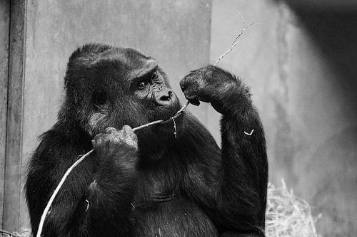 Gorilla von Kevin Vervoort
