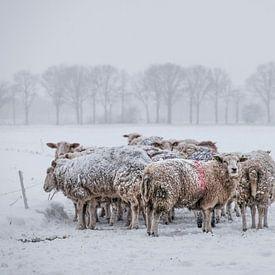 schapen op een kluitje in de sneeuw van jan van de ven