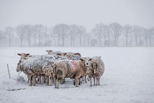 schapen op een kluitje in de sneeuw