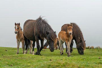 Dartmoor paarden met veulens in het engelse Dartmoor landschap van Elles Rijsdijk