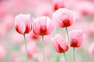 Fünf Mohnblüten