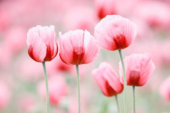 Fünf Mohnblüten van Daniela Beyer