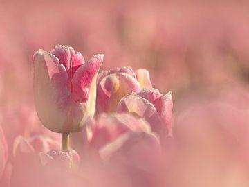 Tulpenveld van Esther Bakker-van Aalderen