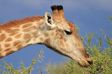 Giraf eet van een acacia boom van Bobsphotography
