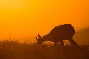 Alpine Chamois ( Rupicapra rupicapra ) grazing at sunrise in wonderful orange backlight, wildlife, E