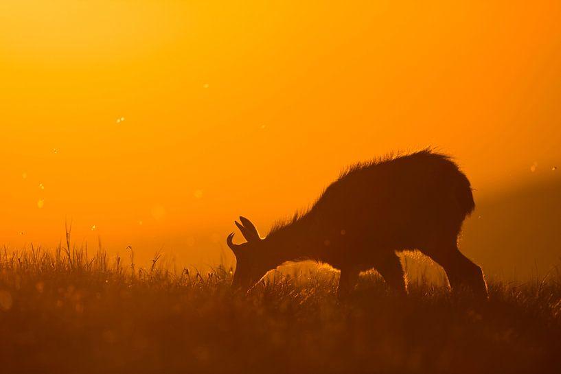 Alpine Chamois ( Rupicapra rupicapra ) grazing at sunrise in wonderful orange backlight, wildlife, E van wunderbare Erde