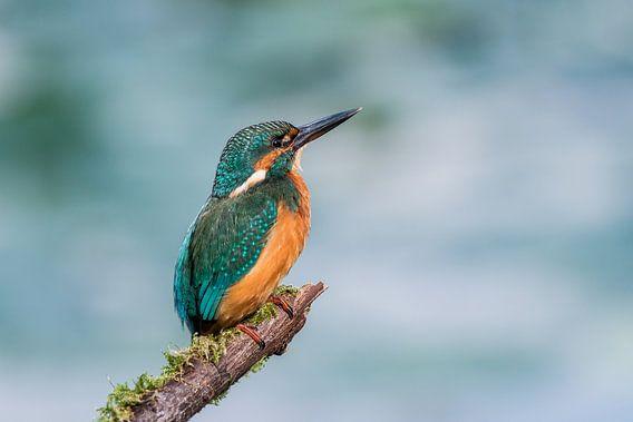 IJsvogel van Adriaan Westra