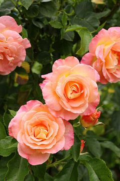 Rose III juli 2020 van Anja Bagunk