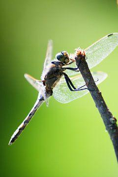 Libelle von Annemarie Kroon