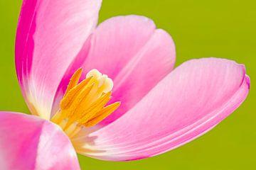 Roze Tulp van Stephan Jansson