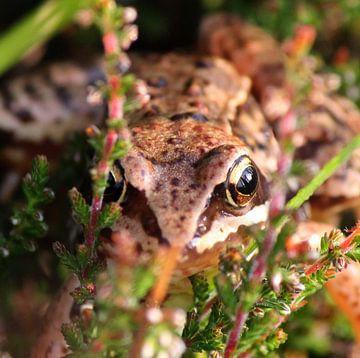 Camouflage ! Common Frog von